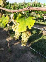 Caledonia Vineyard